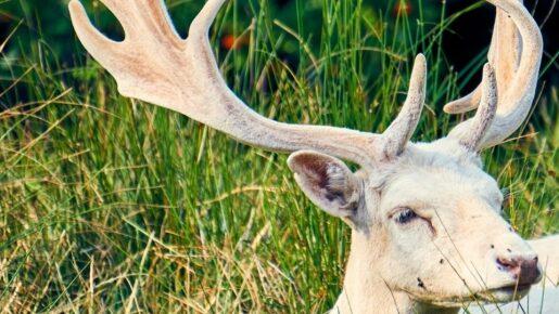Die weisse Gazelle